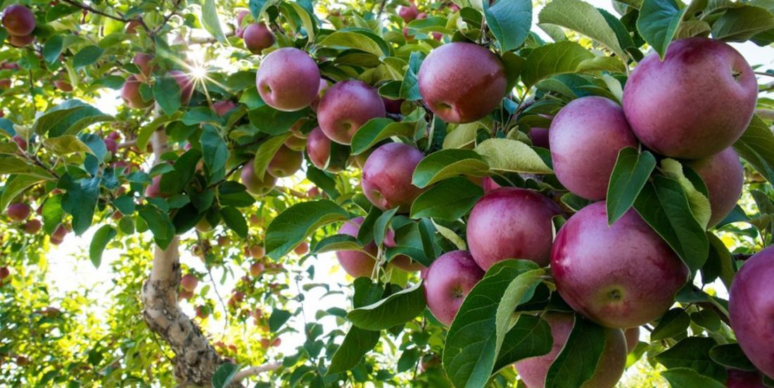 Comment conserver et utiliser les pommes correctement? Voici tout ce que vous devez savoir.