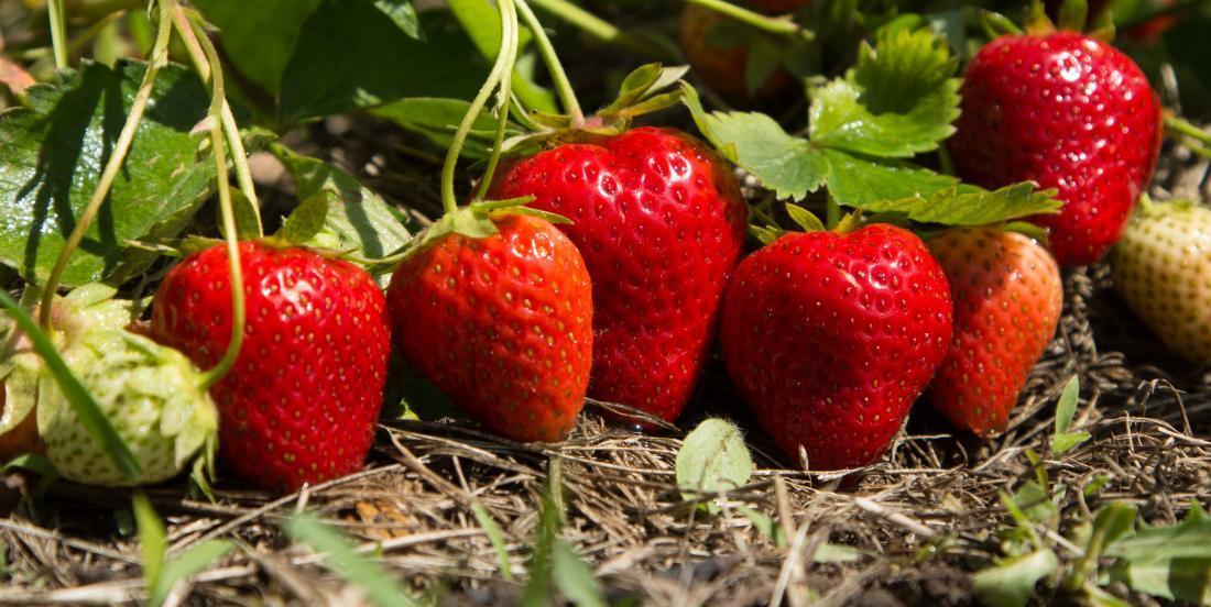 Des résidus de pesticides dans les fraises du Québec aussi