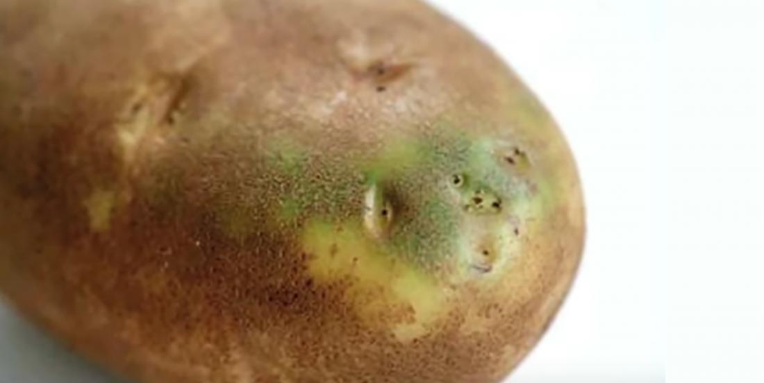 Doit-on jeter une pomme de terre qui ressemble à celle-ci?
